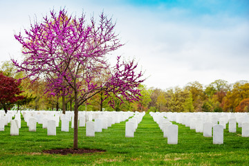 Fototapete - Rows of tombs, graves on military Arlington cemetery and blooming spring cherry tree with flowers