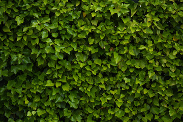 backgrounds and texture of urban vegetation Wall mural