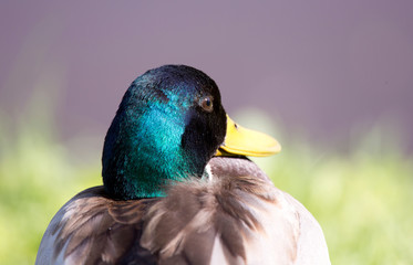 drake head, portrait, close-up on a background of green grass Fototapete