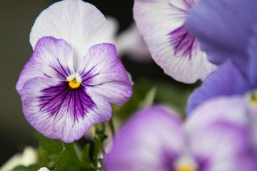 Papiers peints Pansies close up of violet pansies