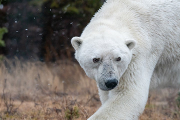Male polar bear (Ursus maritimus) in tundra near Churchill, Manitoba