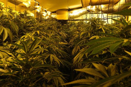 illegal marijuana planting indoors at home