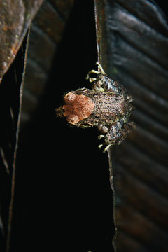 Mindo rain forest tree frog camouflaged on brown leaf at night
