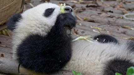 Wall Mural - Lazy drowsy sleepy baby panda lying on its back and slowly eating bamboo. The animal is in constant zen, not caring too much. UHD
