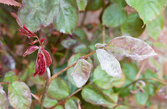 Powdery mildew on a rose plant and leaves, UK