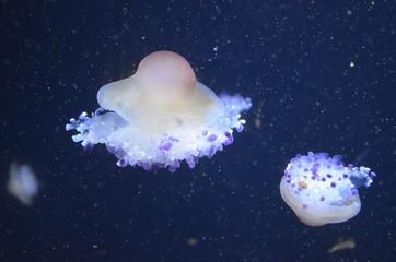 Beautiful illuminated jellyfish at aquarium in Berlin