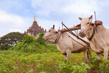 Myanmar Travel Images, farmer ploughing crop with two oxen.