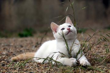 Petit chaton blanc couché sur des cailloux derrière une touffe d'herbe et regardant vers le ciel Fotobehang