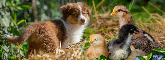puppy of australian shepherd in the garden