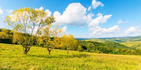 trees in yellow foliage on the hill. beautiful countryside scenery in autumn. sunny day in mountains. blue sky with fluffy clouds