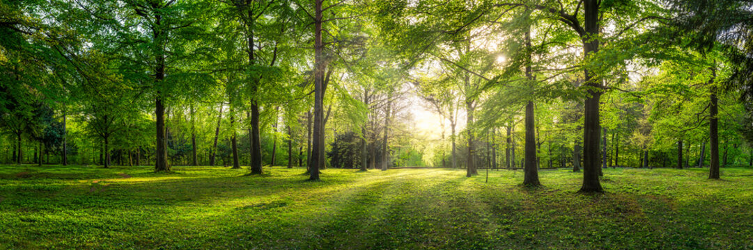 Panoramic view of a forest with sunlight shining through the trees
