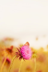 Thistle blooms in the top of the mountains, sunlight color