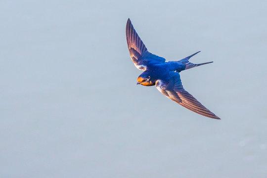 Beautiful Barn Swallow in Graceful Flight