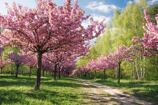Pink Flowering Trees Against Sky