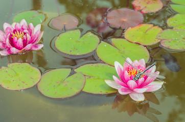 Garden Poster Lotus flower Geen dragonfly sitting on a pink lotus flower/green dragonfly sitting on a pink water lily lotus flower.