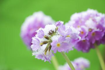 Flower Primula