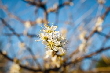 Hawthorn blossom flower on tree, close up