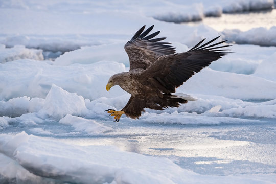The White-tailed eagle, Haliaeetus albicilla The bird is flying in beautiful artick winter environment Japan Hokkaido Wildlife scene from Asia nature. Came from Kamtchatka..