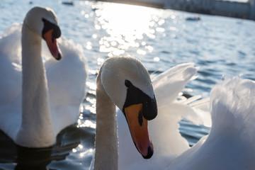 Swan Fototapete