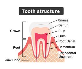 Tooth anatomy flat vector illustration