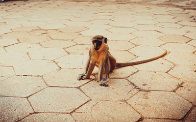Photo sur Plexiglas Singe a monkey sits on the floor in a national Park in Africa and makes faces