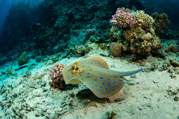 blue-spotted ribbontail ray hiding in sand