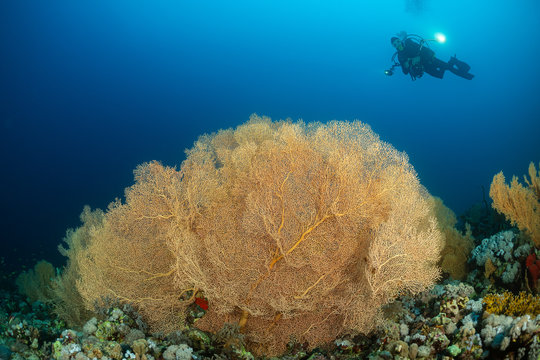 typical Red Sea tropical reef with hard and soft coral surrounded by school of orange anthias and a underwater photographer diver close to a large gorgonian