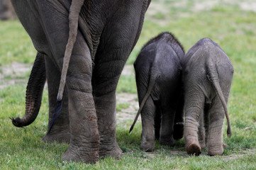 Newly born Asian elephant at Prague Zoo