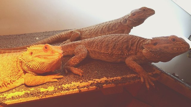 Bearded Dragon Lizards In Glass Cage