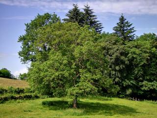 Paysage de campagne avec un grand chêne.