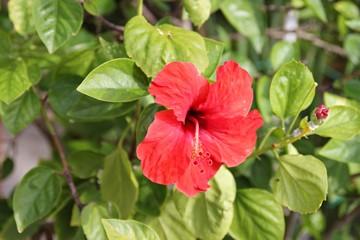 Obraz hibiskus, roslina kwitnaca, kwiat, czerwony kwiat - fototapety do salonu