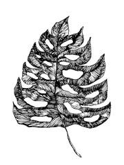 monstera leaf drawing