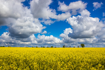 Poster Jaune heavy clouds in the blue sky above the rape field