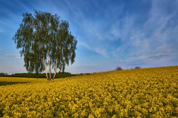 Brzoza rosnąca wśród żółtych pól rzepaku
