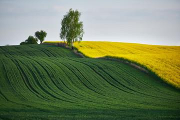 Fototapeta Pole rzepaku i pole zboża z rosnącym na ich granicy drzewem  obraz