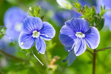 Wall Mural - Blue Veronica flowers bloom