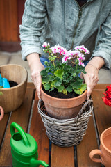 Florist arranging flower pot with geranium into wicker basket. Gardening and planting