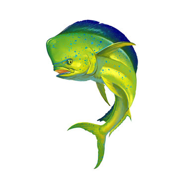 Mahi mahi or dolphin fish on white. Realistic illustration of mahi-mahi or dolphin fish on white background isolate.