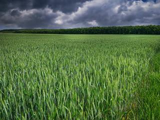 Getreidefeld mit dramatischen Wolken