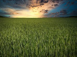 Getreidefeld am Morgen