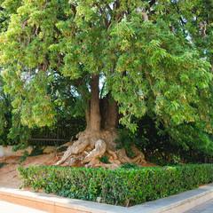 Ficus elastica tree in park, located at Barcelona, Spain
