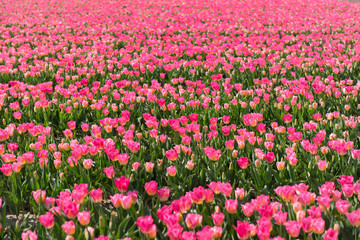 Wall Murals Candy pink Many pink tulips in field