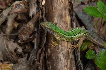 top view of a green lizard that sits on a dried tree lying on the ground in dry leaves Wall mural