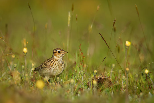 Wood Lark - Lullula arborea brown crested bird on the meadow (pastureland), lark genus Lullula, found in most of Europe, the Middle East, western Asia and the mountains of north Africa