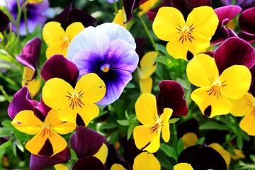 Close-up Of Pansies Blooming Outdoors