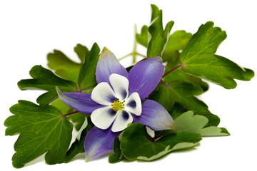 Purple columbine (Aquilegia) flower and green foliage isolated on a white background. Wall mural