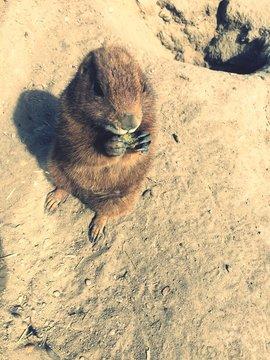 High Angle View Of Marmot Standing On Sandy Beach