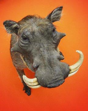 Close-up Of Warthog Against Orange Background