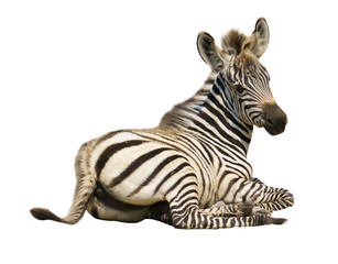 young zebra isolated