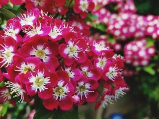 Tuinposter Azalea Close-up Of Pink Flowering Plants